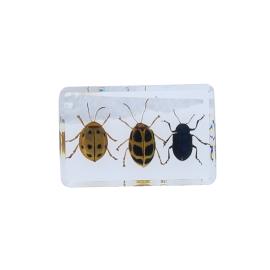 Trio coleopteres inclusion sous resine